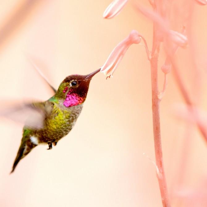 Prisma de colibrí