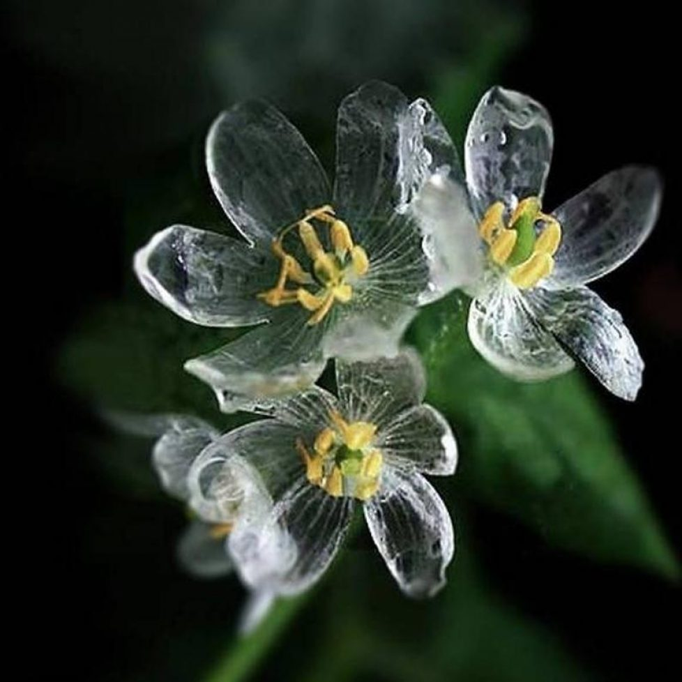download (2) Diphylleia.