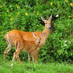 mother-and-baby-white-tailed-deer-lara-ellis (1)