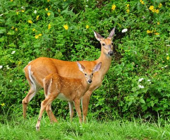 mother-and-baby-white-tailed-deer-lara-ellis (1)